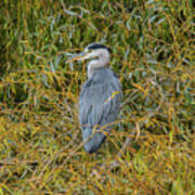 Blue Heron In The Autumn Colours Poster