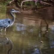 Blue Heron Stalking  Poster
