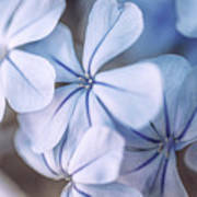 Blue Houres, Blue Flowers Poster