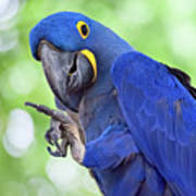 Blue Hyacinth Macaw Poster