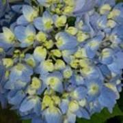 Blue Hydrangea Bouquet Poster