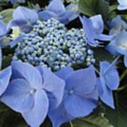 Blue Hydrangea Buds Poster