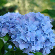 Blue Hydrangea Flower Art Prints Baslee Troutman Poster