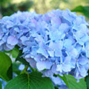 Blue Hydrangea Flowers Art Botanical Nature Garden Prints Poster