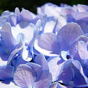 Blue Hydrangea Flowers Art Prints Baslee Troutman Poster