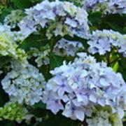 Blue Hydrangeas Art Prints Hydrangea Flowers Giclee Baslee Troutman Poster