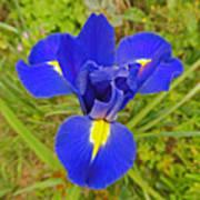 Blue Iris Beauty Poster