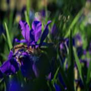 Blue Iris Field  Poster