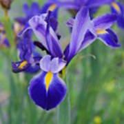 Blue Iris Flower Poster
