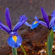 Blue Iris Germanica Poster