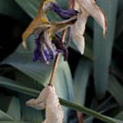 Blue Irises Past Their Prime Poster