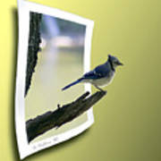Blue Jay Perched Poster