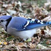 Blue Jay With A Full Mouth Poster