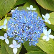 Blue Lacecap Hydrangeas Poster