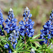 Blue Lupines Poster