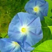 Blue Morning Glories Poster
