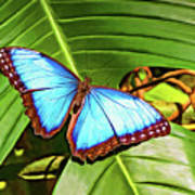 Blue Morpho Butterfly 2 - Paint Poster