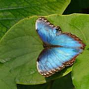 Blue Morpho Butterfly II Poster