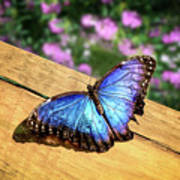 Blue Morpho Butterfly On A Wooden Board Poster