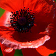 Blue On Red Poppy Poster