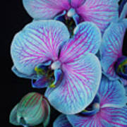 Blue Orchid On Black Poster