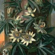 Blue Passion Flower For The  Temple Of Flora By Robert Thornton Poster