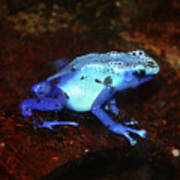 Blue Poison Dart Frog - Dendrobates Azureus Poster