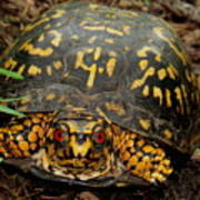 Blue Ridge Box Turtle Poster