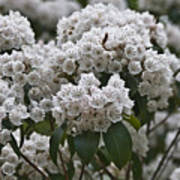 Blue Ridge Mountain Laurel Poster