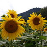 Blue Ridge Sunflowers  Poster