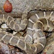 Montreat Water Snake Poster