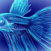 Blue Siamese Fighting Fish Poster