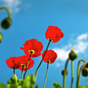 Blue Sky And Poppies Poster