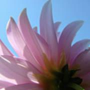 Blue Sky Floral Art Print Pink Dahlia Flower Baslee Troutman Poster