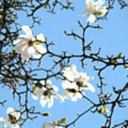 Blue Sky Floral Art White Magnolia Tree Poster