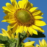 Blue Sky Sunflower Day Poster