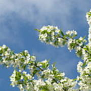 Blue Sky White Clouds Landscape Art White Tree Blossoms Spring Poster