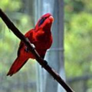 Blue-streaked Lory Poster