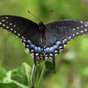 Blue Tailed Black Butterfly Poster
