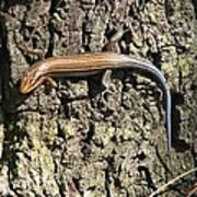 Blue Tailed Skink Poster