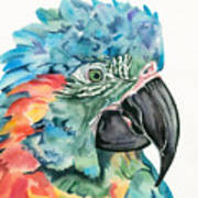Blue-throated Macaw Poster