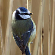 Blue Tit On Reed Poster