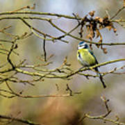 Blue Tit Woods Poster