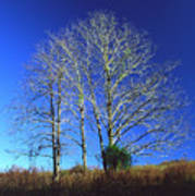 Blue Tree in Tennessee Poster