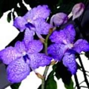 Blue Violet Orchids Poster
