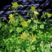 Blue Wall Yellow Columbine Poster