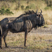 Blue Wildebeest Standing On Savannah Staring Ahead Poster