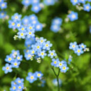 Blue Wildflowers Forget Me Nots Poster