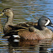 Blue Winged Teal Pair Poster