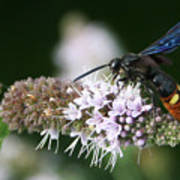 Blue-winged Wasp On Mint Poster